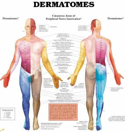 Dermatome Map http://vitalfrequency.com/blogs/2010/03/09/pain-free-drug-free/dermatomes-chart-cropped-4/