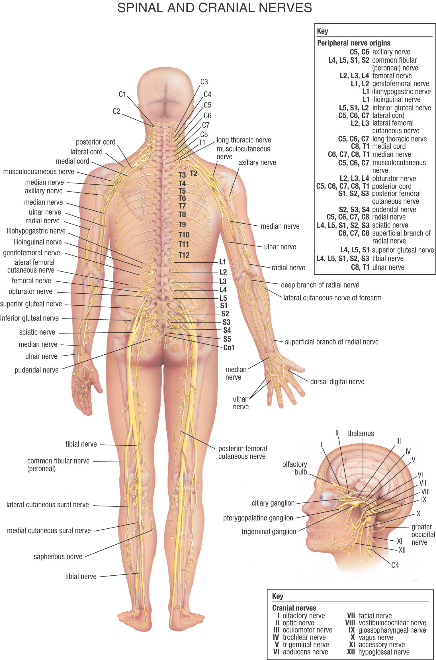List Of Synonyms And Antonyms Of The Word Lumbar Spine Nerve Chart